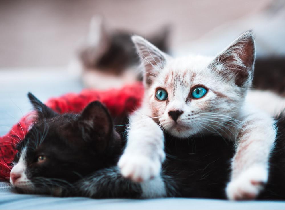 Kittens Suffering from Feline Enteric Coronavirus