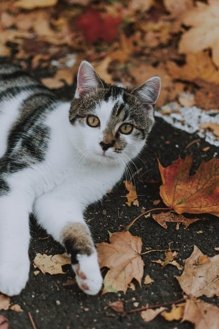 White Tabby Barn Cat Relaxing in Leaves