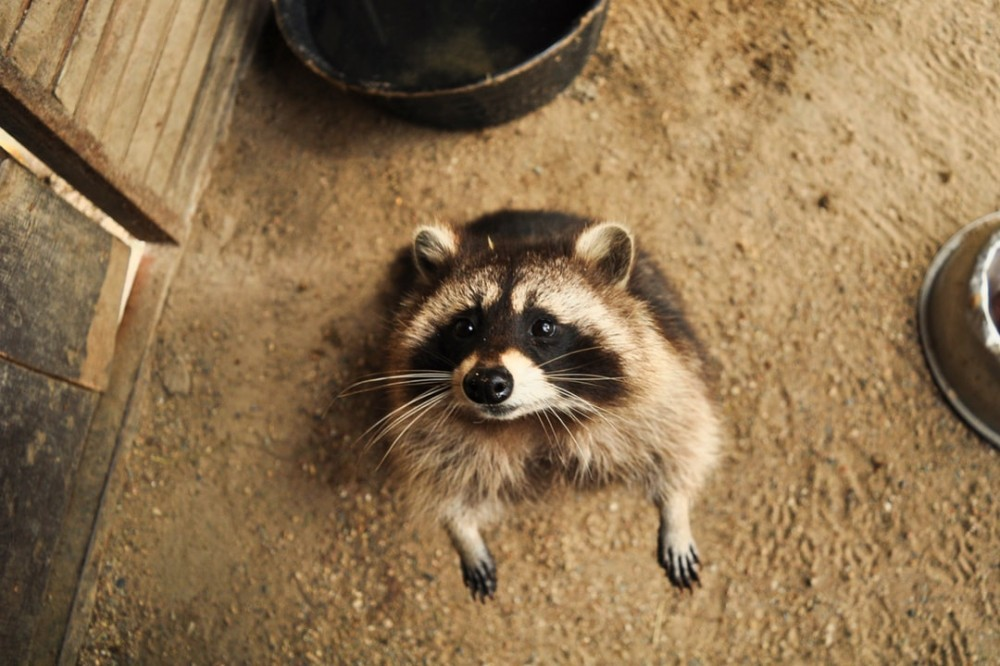 Begging Raccoon