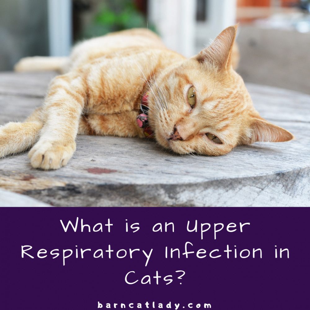 What is an Upper Respiratory Infection in Cats Graphic