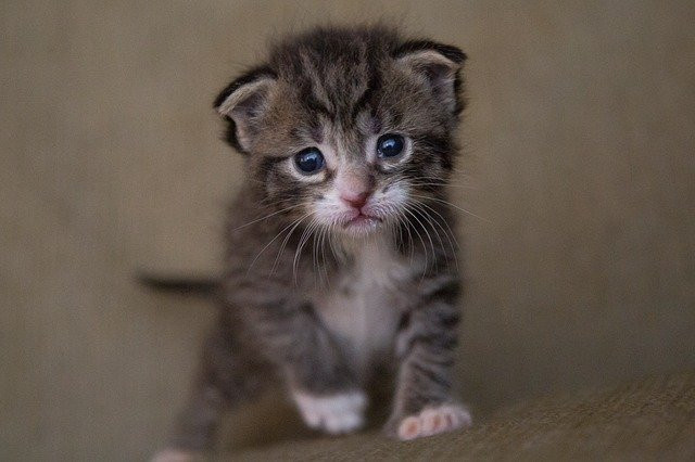 Young Tabby Kitten Orphaned by His Mother