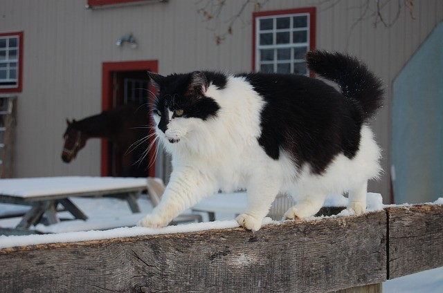 Black and White Barn Cat on a Fence
