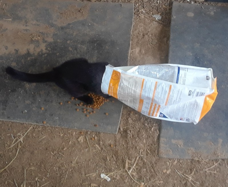 Black Barn Cat With Head in Cat Food Bag