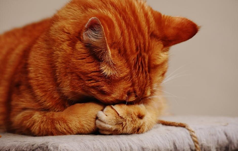 Orange Tabby Cat Hiding His Face
