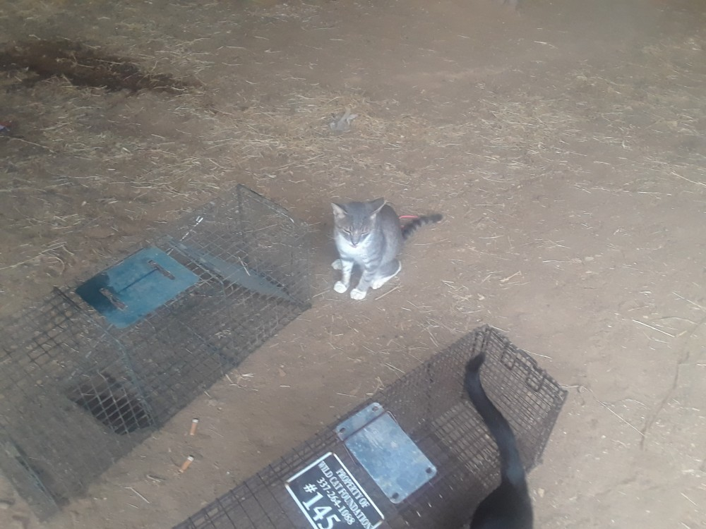 Gray Tabby Cat and Two Cat Traps