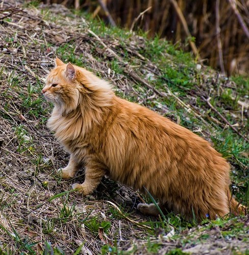 A Feral Fluffy Orange Tabby Outside