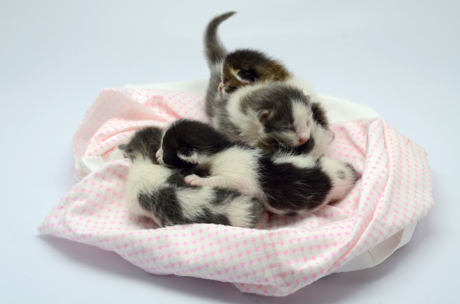 Orphaned Neonatal Kittens in a Foster Home
