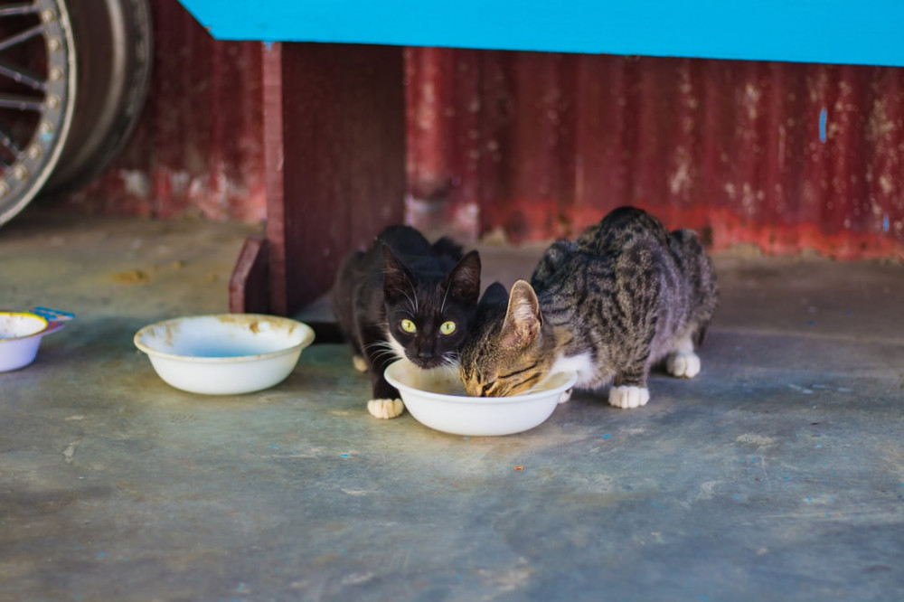 Hungry Feral Cats Eating