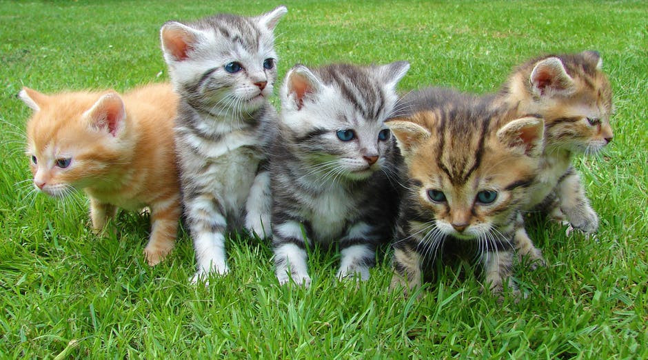 A Litter of Tabby Kittens Exploring the Yard
