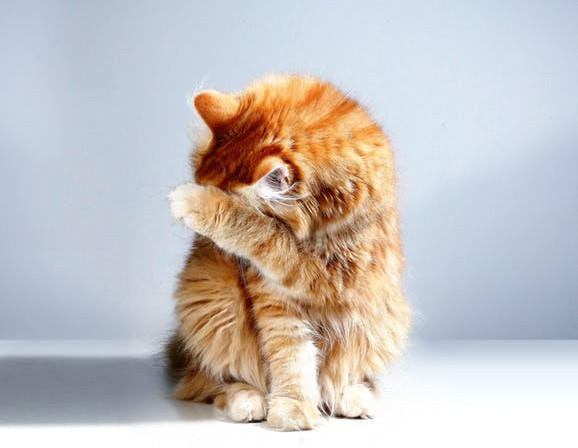 Long-Haired Orange Tabby Cat Hiding His Face