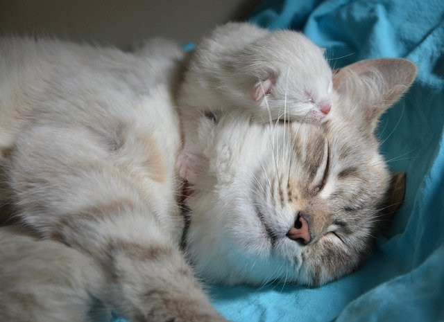 Neonatal Kitten Sleeping on Her Mama