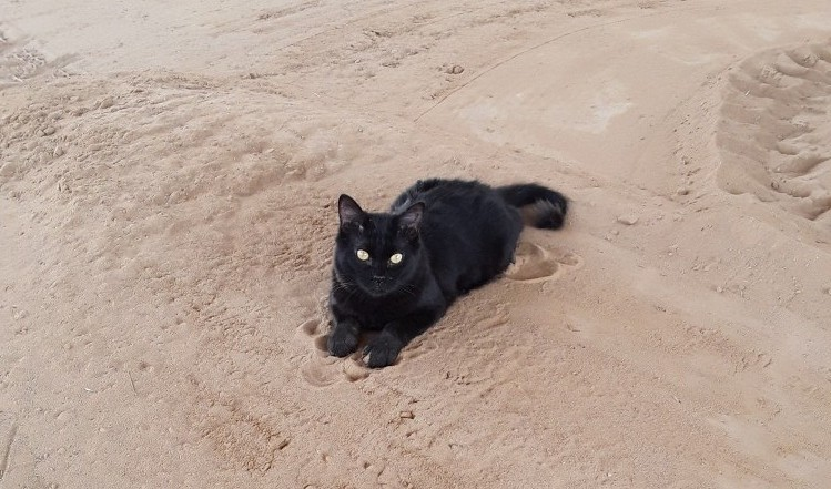 Peabody, a gorgeous black medium-haired cat, lying in the sand.