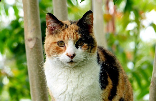 A Calico Cat Lost Outside