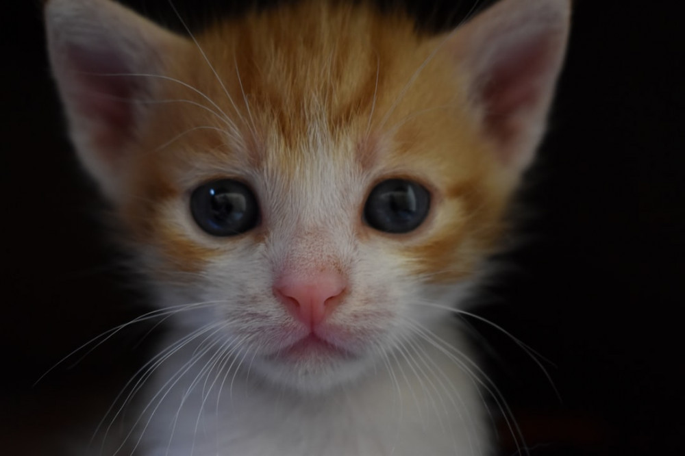 Tiny Orange Tabby Kitten Face
