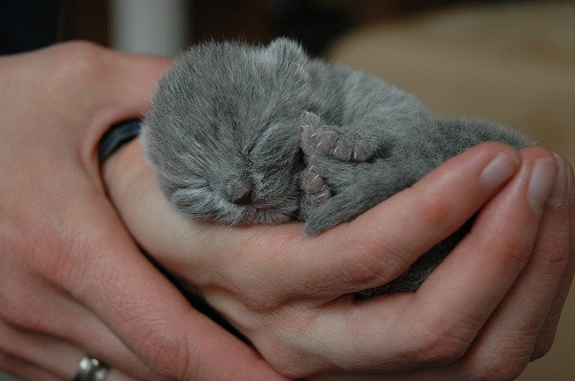Newborn Kitten Held Lovingly in a foster carer's hands.