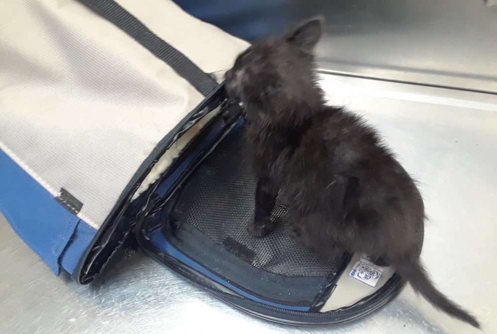 4 week old black kitten named Peabody at the Vet, checking out his small carrier
