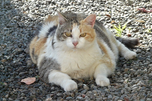 A fat tortoiseshell cat outside