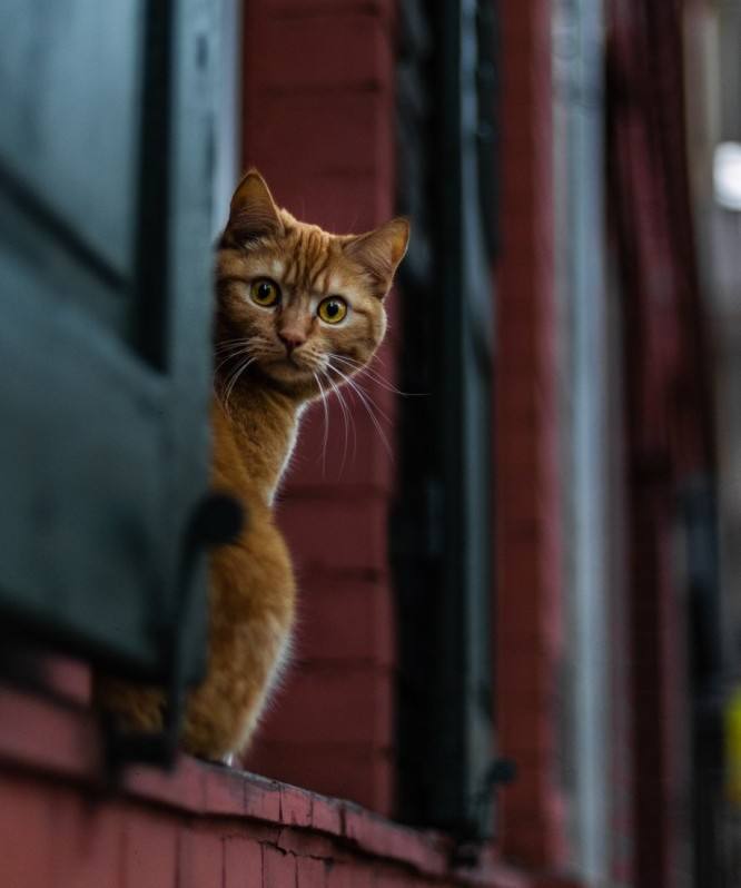 Orange Tabby Cat Peeking from a Barn Window