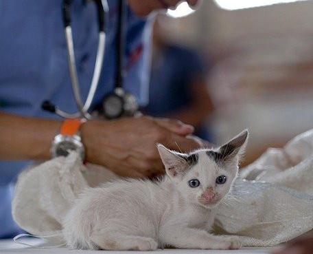 White Kitten with Feline Infectious Peritonitis