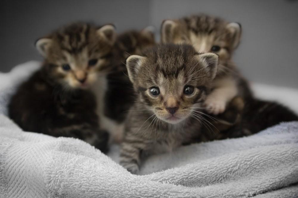 Four Tabby Neonatal Kittens