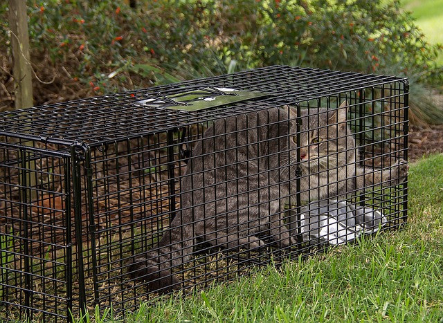 Tabby Cat Trapped for Neuter Surgery by a Volunteer