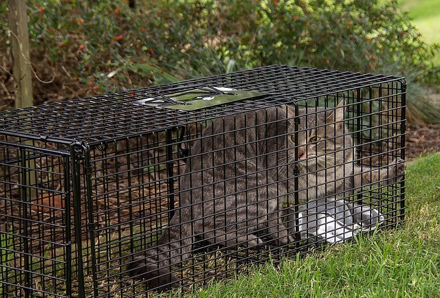Lost Tabby Cat in a Trap