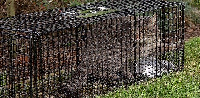 Gray Tabby Cat in a Humane Trap