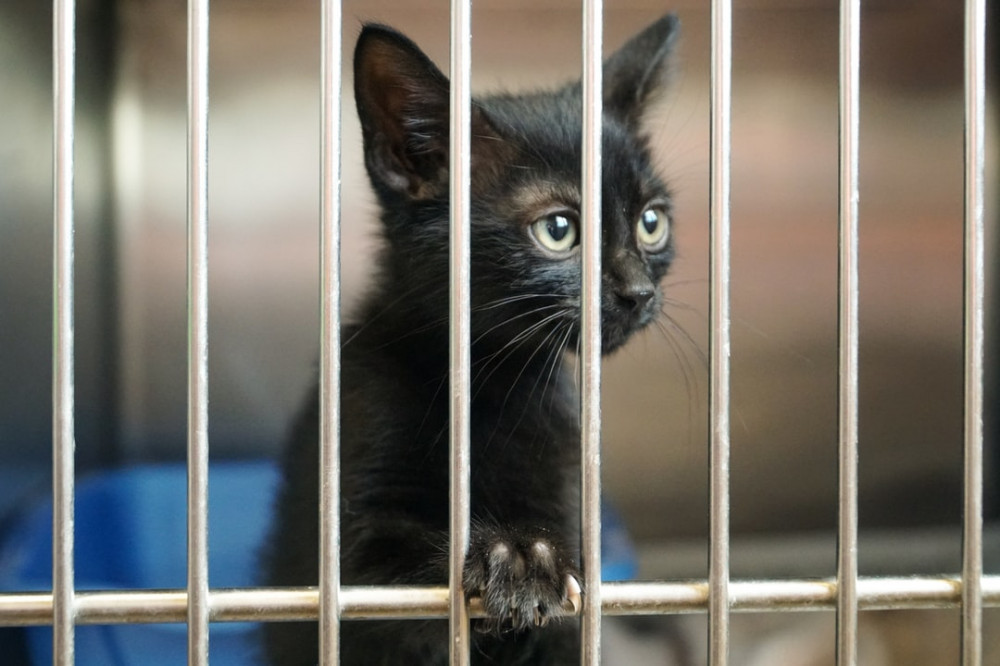 Black Kitten Awaiting Adoption in an Animal Shelter
