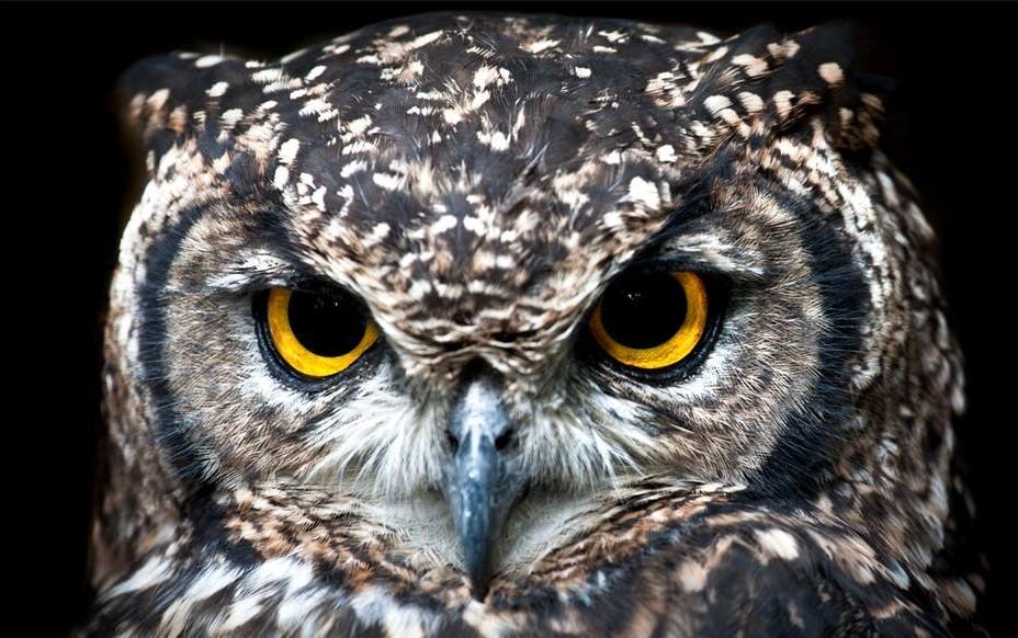 owl as wisdom