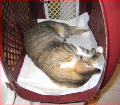cat sleep in carrier