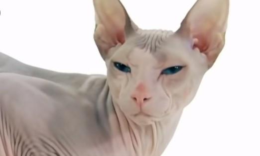 non-molting cat