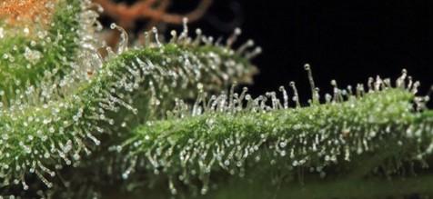 Terpenes Up Close Image