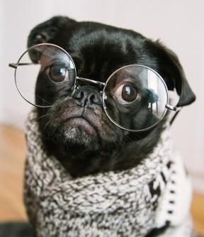 French bulldog wearing glasses.