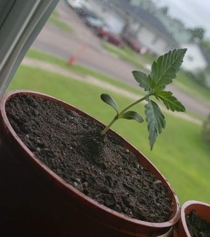 Gelato #5 Seedling
