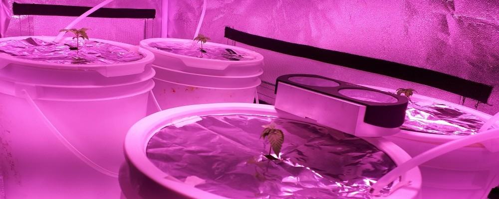 Indoor Gelato Seedling Height