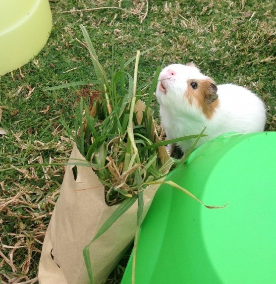 paper bag guinea pig toy