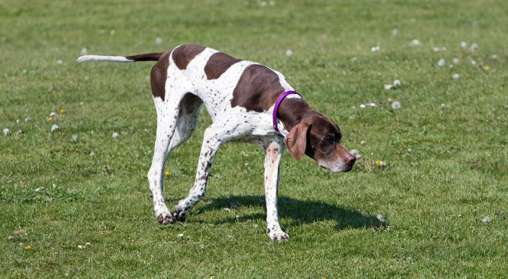 top 10 working dog breeds pointer