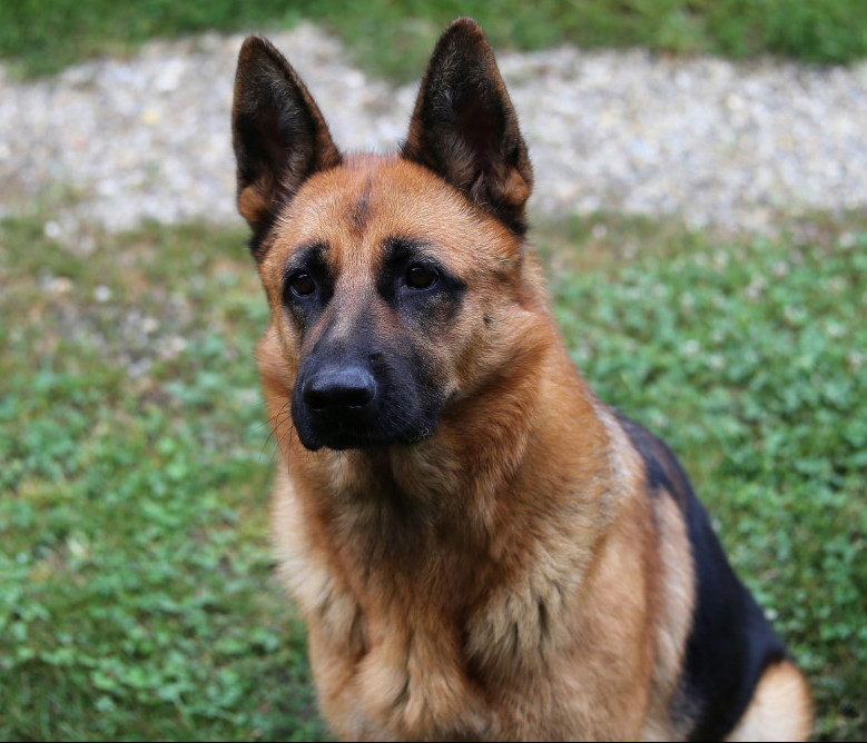 top 10 working dor breed german shepherd