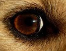 Do dogs get cataracts