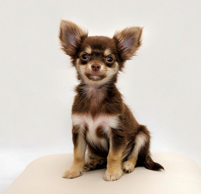 what are the best small dogs chihuahua