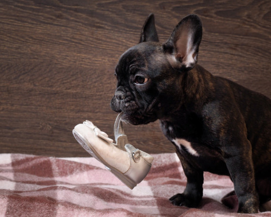 how to get your dog to stop chewing on things - shoe