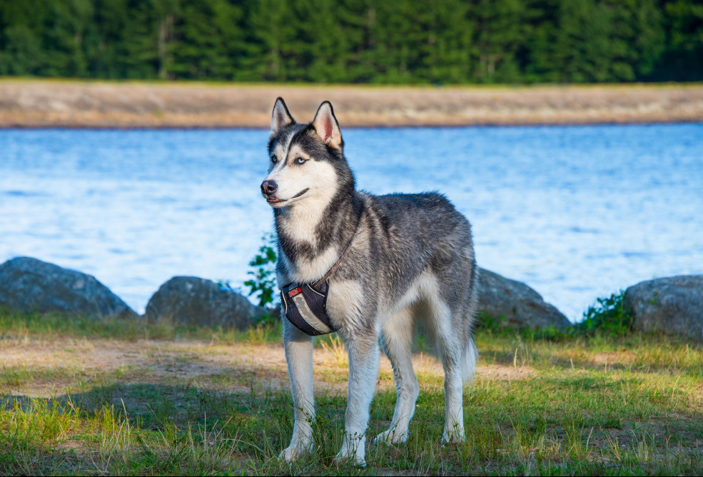 top 10 working dog breeds husky