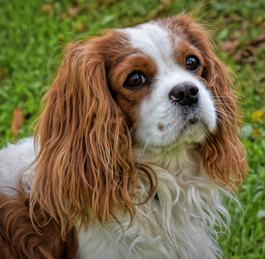 What are the smallest dogs King charles