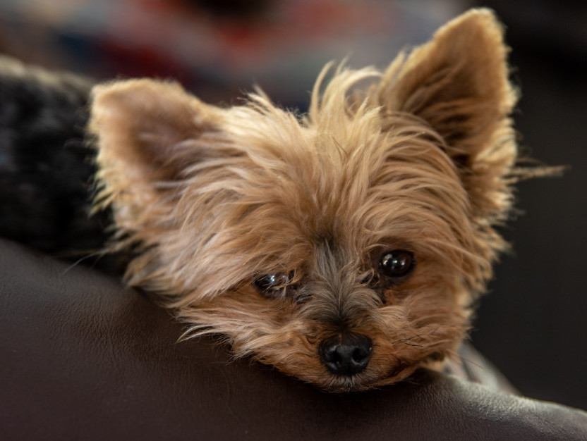 What is a small dog yorkie