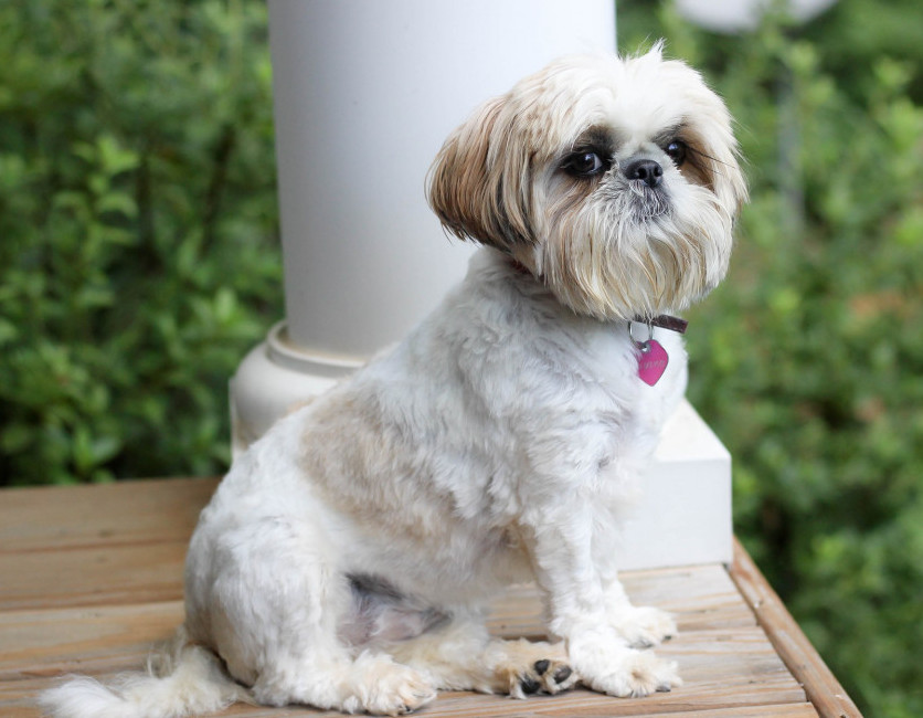 shih tzu what are the smallest dogs