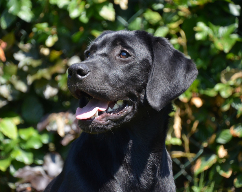 top 10 working dog breeds labrador