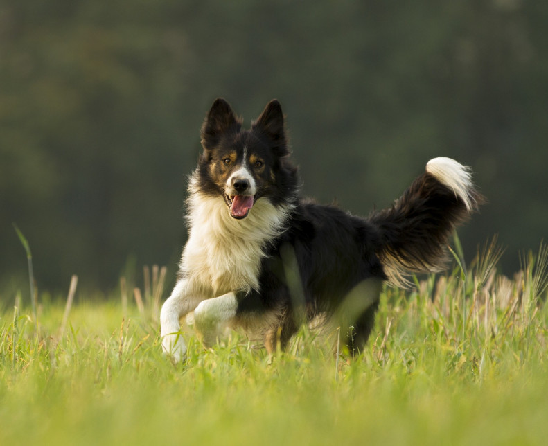 top 10 working breeds border collie