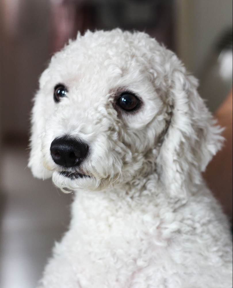 do dogs gets a cataract - poodle