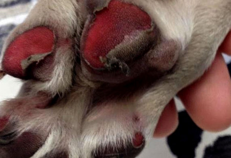 dog burned paws how to protect dog paws from heat