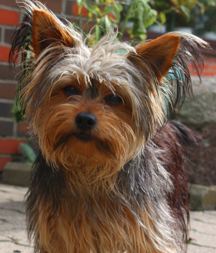 what are the smallest dogs yorkie